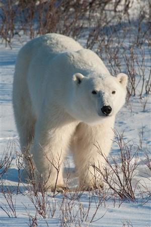 北极熊野生动物图片