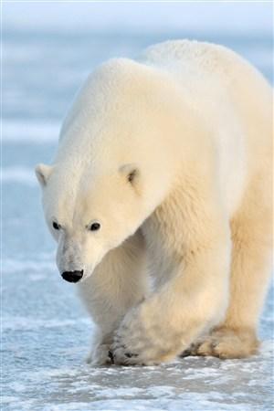 冰块上行走的北极熊野生动物图片