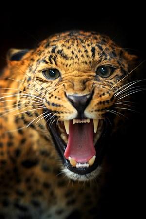 呲牙吼叫的豹子野生动物图片