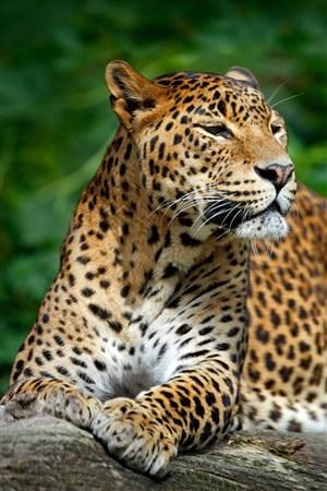 一脸忧愁的豹子野生动物图片