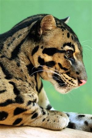 可爱的小豹子野生动物图片