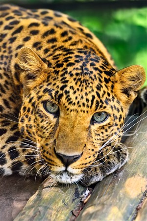 趴在木板上乖巧的豹子野生动物图片