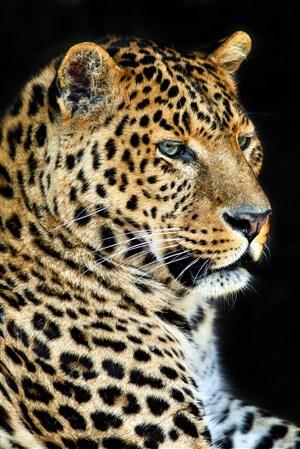 愁眉苦脸的豹子野生动物图片