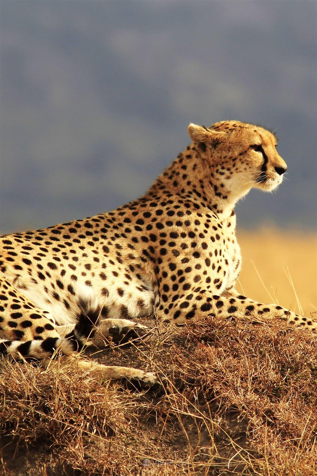 高清豹子野生动物图片