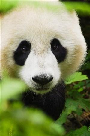 呆萌高清大熊猫野生动物图片