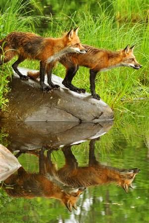 两头水面倒影狐狸野生动物图片