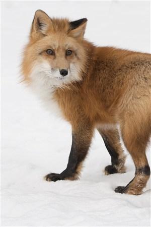 雪地里回头的狐狸野生动物图片