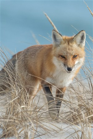 高清狐狸野生动物图片