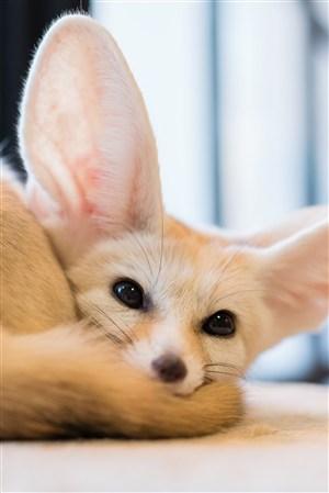 大耳朵萌萌的小狐狸野生动物图片