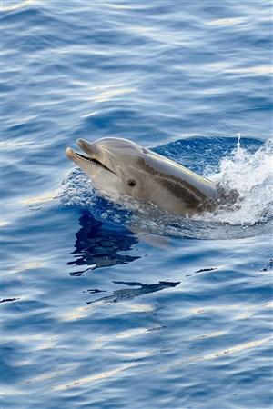 海面高歌的海豚海洋动物图片