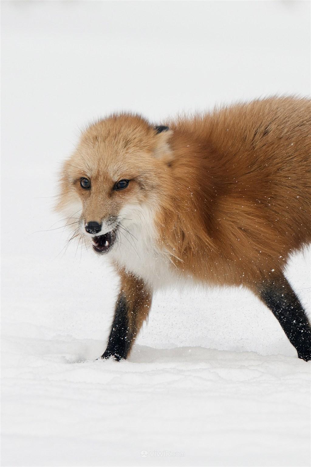 高清呲牙的狐狸野生动物图片