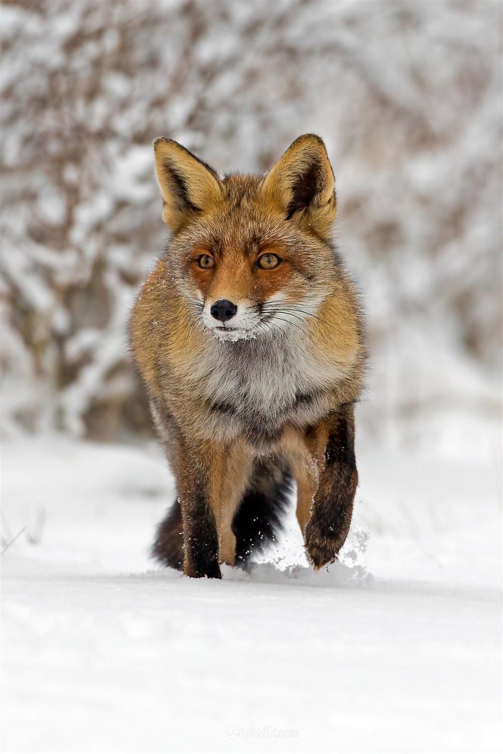雪天寻找食物的狐狸野生动物图片