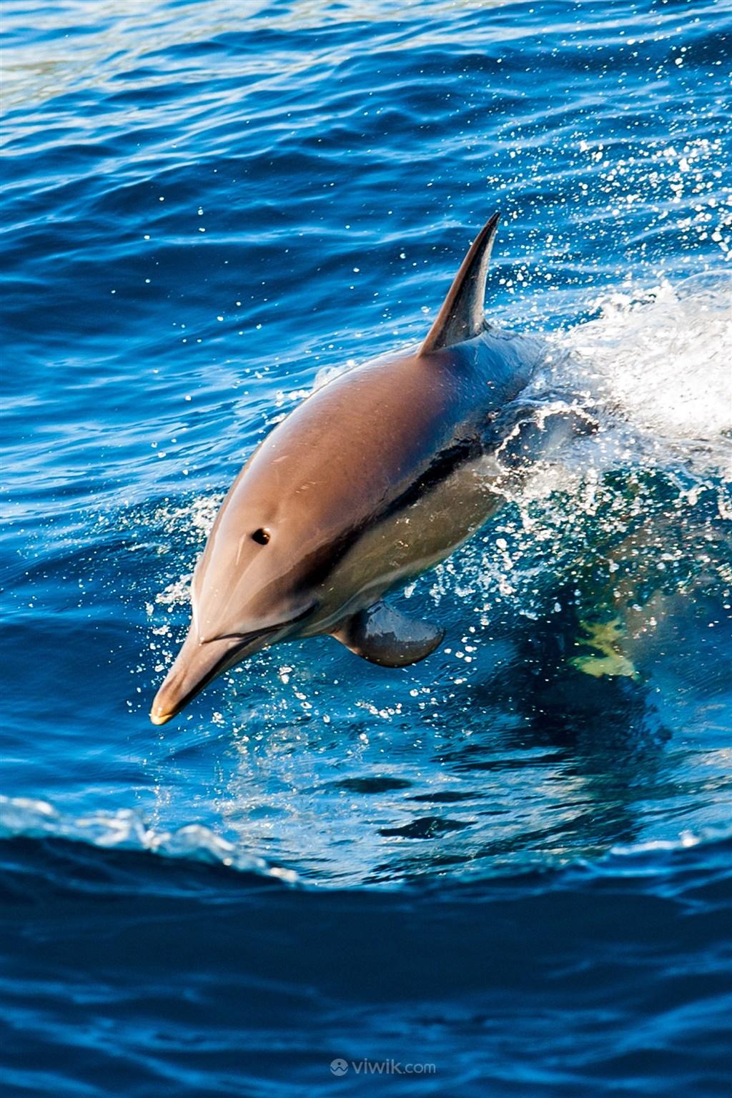 跃出海面的海豚海洋动物图片