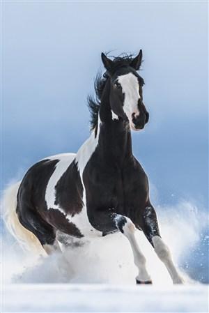 黑白骏马野生动物图片