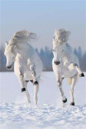 雪地上雪白的骏马野生动物图片