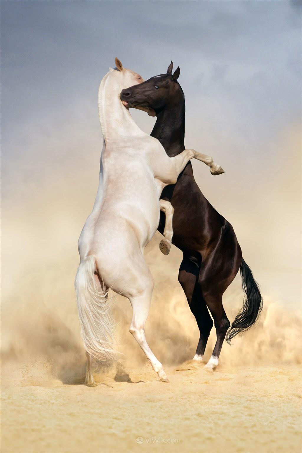 拥抱的白马与黑骏马野生动物图片