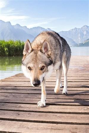 高清红眼狼野生动物图片