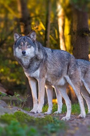 呆望的狼野生动物图片