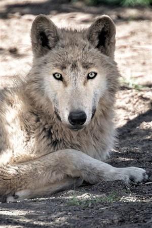 凶狠的狼野生动物图片