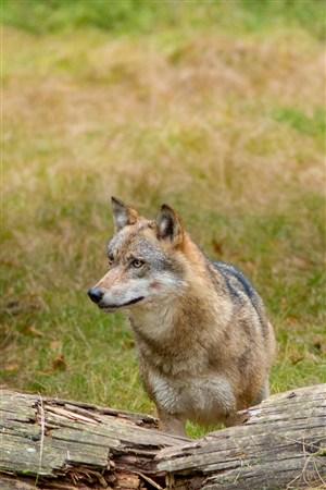 草原观望的狼野生动物图片