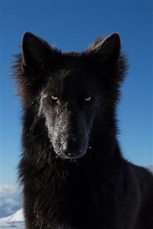 蓝天下黑色的狼野生动物图片