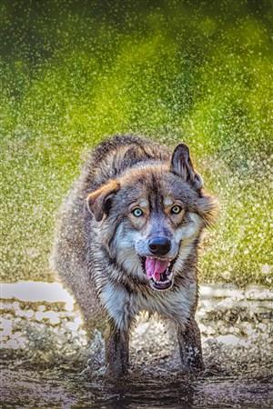 雨水里湿身的狼野生动物图片