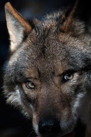 狰狞的狼野生动物图片