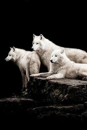 三头白色的狼野生动物图片