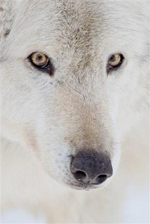 机智的白狼野生动物图片