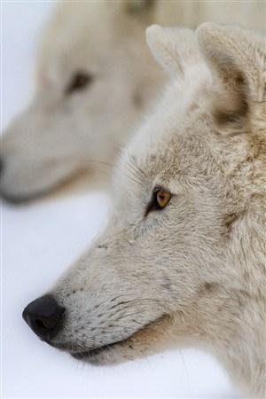 凝望愁眉苦脸的狼野生动物图片