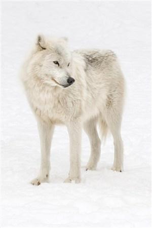 雪地里白狼野生动物图片