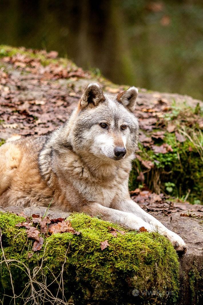 森林狼野生动物图片