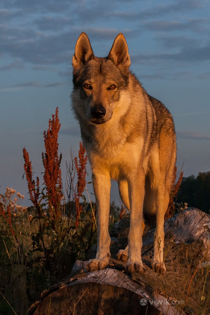 灯火照射下的狼野生动物图片