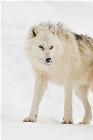 白狼圖片大全