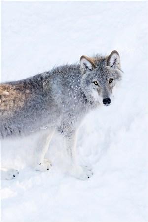 冬天雪地里的狼圖片大全