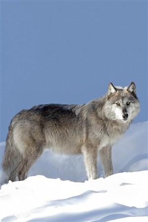 雪山頂上的狼圖片大全