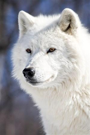 漂亮的白狼圖片大全