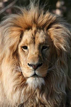 一本正經的獅子野生動物圖片