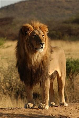 站著看遠方的獅子野生動物圖片