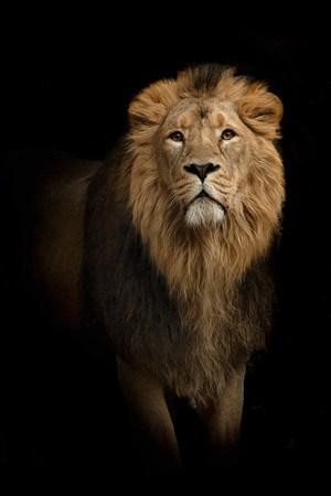 黑暗中的獅子野生動物圖片