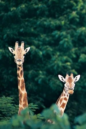 兩頭伸出頭高高的長頸鹿野生動物圖片