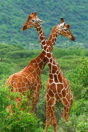 綠色森林的長頸鹿野生動物圖片