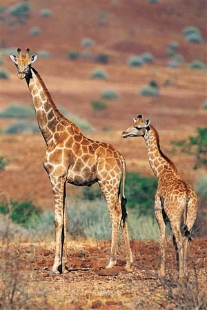 小長頸鹿與大長頸鹿野生動物圖片
