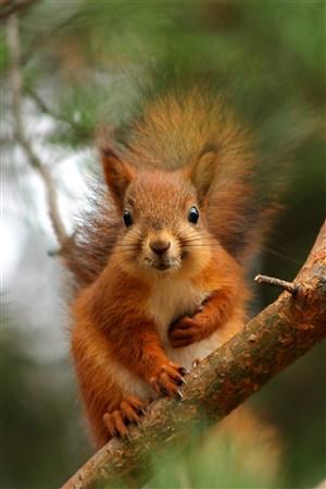 樹枝上的松鼠野生動物圖片