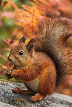 拿著果子的松鼠野生動物圖片