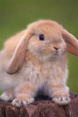 可愛乖巧的寵物兔子圖片
