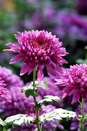 紫色菊花鲜花图片