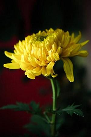秋菊鲜花图片
