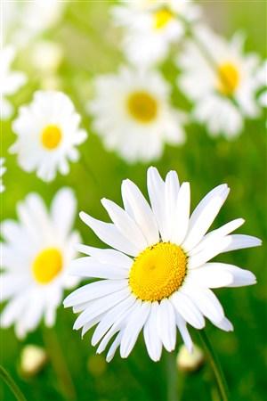 灿烂阳光下小邹菊鲜花图片