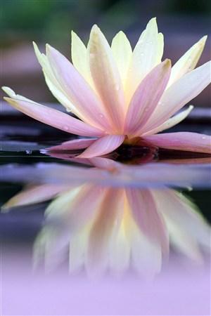 水中荷花倒影鲜花图片